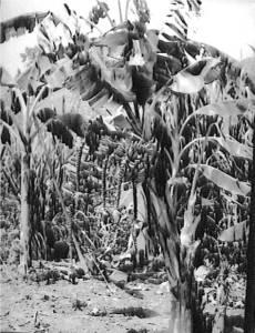 EDV_FOTO_MATA_DE_SEIS_RACIMOS_1947 detalle
