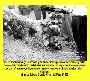 AVSG 13 Actividad Milagros Sabana Grande Tronco Mango